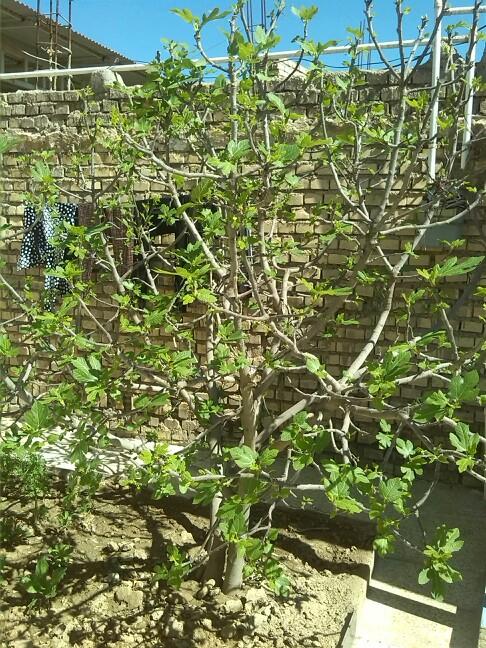 شکوفه زدن برگ انجیر