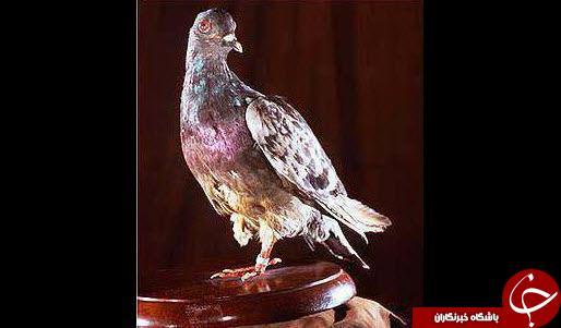 این کبوتر جان 194 نفر را نجات داده است