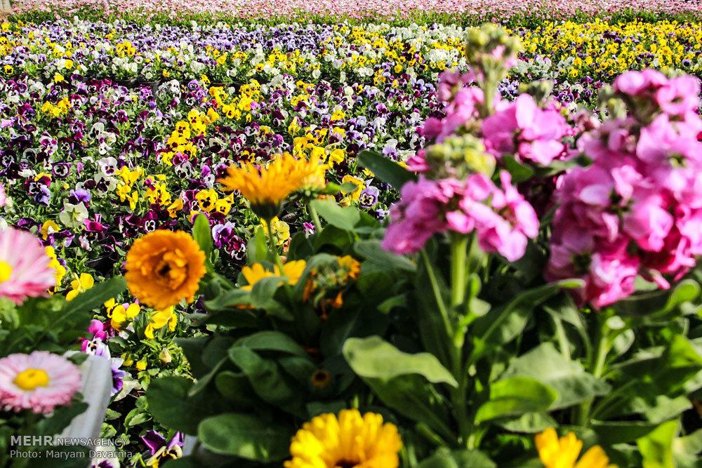 عکس/ آماده سازی 130 هزار گل در گلخانه های بجنورد