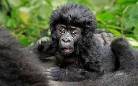 عکس های دیدنی یک بچه گوریل با موهای فرفری !