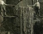 تصویری از قطع یک درخت بسیار غول پیکر در استرالیا